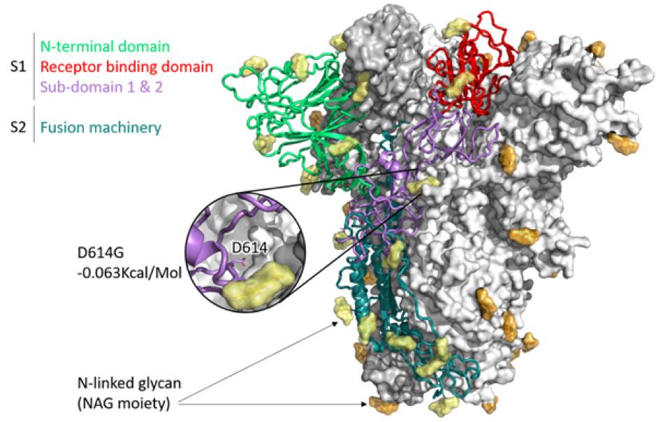 Humán papillomavírus, Labialis papilloma vírus